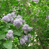 Wonderful aroma of lilacs