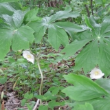Mayapple Blooming