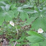 Mayapple Blooming