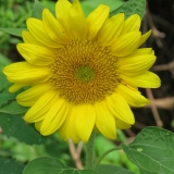 Lovely sunflower graces the trail.