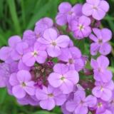 Phlox?  beautiful colour