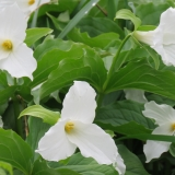 The Trilliums are blooming