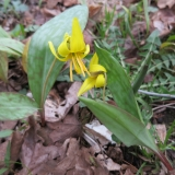 08 Trout Lily