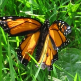 Injured butterfly - we put it up in a bush, hopefully it will survive.