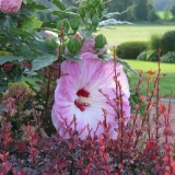 Dinnerplate Hibiscus