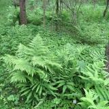 Lots of lush ferns