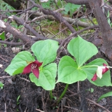Beautiful Red Trilliums